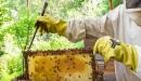 تربية النحل في العراق