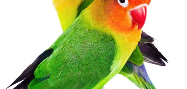 تربية طيور الزينة